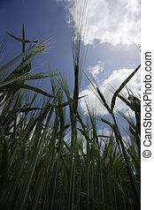 weizen- feld, landwirtschaft, natur, wiese, wachsen, lebensmittel