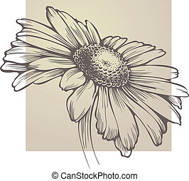 wektor, chamomile, kwiat, odizolowany