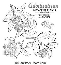 wektor, komplet, calodendrum