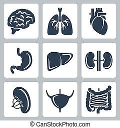 wektor, komplet, organy, wewnętrzny, ikony