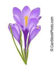 wektor, kwiat, ilustracja, krokus