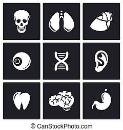 wektor, organy, wewnętrzny, icons., illustration.