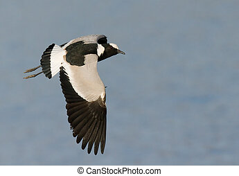 Well exposed Blacksmith lapwing in flight against blue
