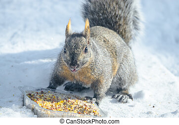 Well fed grey squirrel with slight orangy patched colored fur, investigating an offering of rich a suet seed puck.