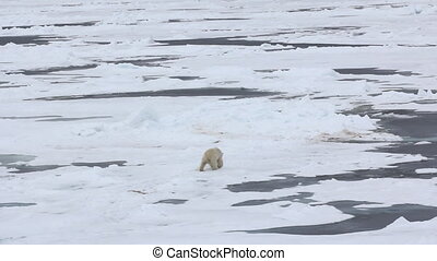 Well-fed Polar bear male comes sprawly into toross - Polar...