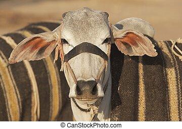 Well Groomed Bullock - Bullock for sale at the Nagaur Cattle...