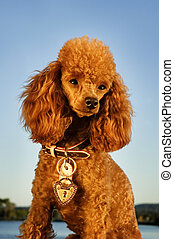 well groomed poodle