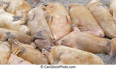 Well it must be so sweet to sleep! Huge walrus asleep on each other among beach