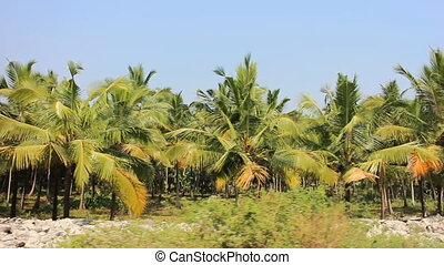 Well-maintained plantations of coconut palms 2