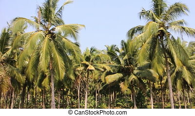 Well-maintained plantations of coconut palms 3