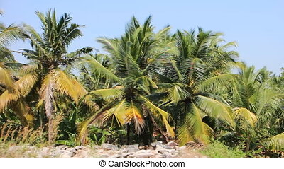 Well-maintained plantations of coconut palms 1.