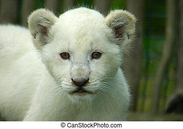 welp, leeuw, witte