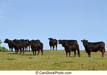 Welsh black cattle. - Welsh black cattle in a green field ...