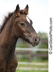 Welsh cob foal looking at you