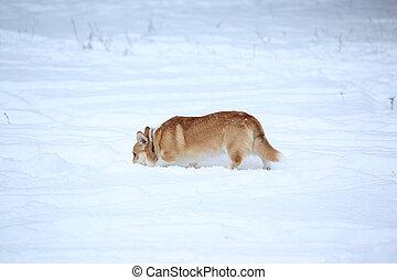 Welsh Corgi dog breed playing