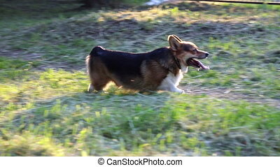 Welsh Corgi dog in the grass - Happy and active purebred...