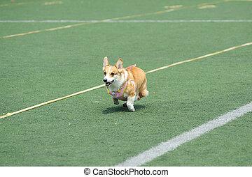 Welsh Corgi dog running