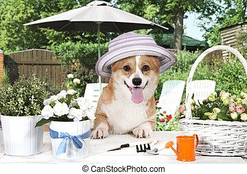 Welsh corgi Pembroke dog in a hat