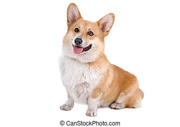 Welsh Corgi Pembroke dog sitting and panting, isolated on a...