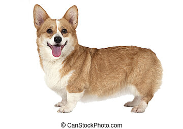 Welsh corgi Pembroke dog standing in a studio and looking...