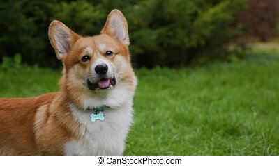 Welsh corgi pembroke in the park on a green lawn. Close up of a dog's face with protruding tongue and a turquoise name collar. Blurred background. Slow motion