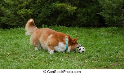 Welsh corgi pembroke walks in the park on a green lawn. The dog runs with a toy soccer ball in its mouth, stops and continues to chew on its toy. Close up. Slow motion