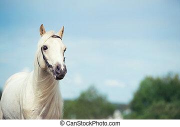 welsh pony cream stallion at sky background