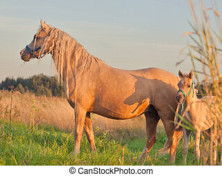 welsh pony dam with foal at sunset