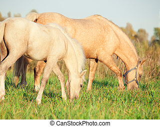 welsh pony dam with foal at the pasture