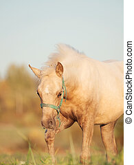 welsh pony foal in the pasture.