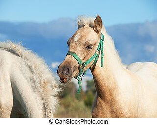 welsh pony foales in the pasture