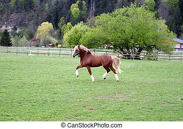 Welsh pony stallion in trot.