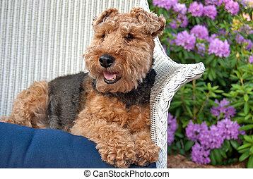 Welsh terrier in a garden - Welsh terrier in a wicker chair...