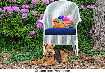 Welsh terrier in garden