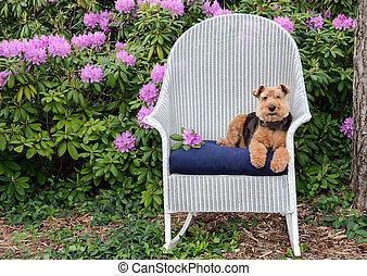 Welsh terrier on wicker chair in garden
