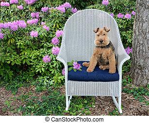 Welsh terrier sitting on chair in garden