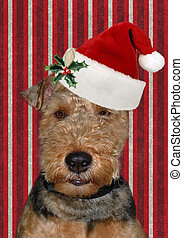 Welsh terrier with santa hat - Christmas hat on a Welsh...
