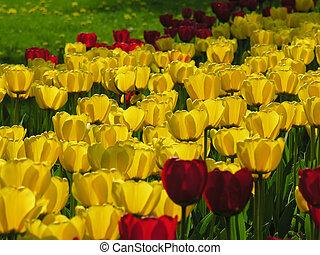 welt, von, tulpen