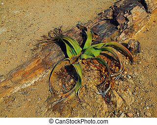 Welwitschia mirabilis - endemic plant to the Namib desert ...