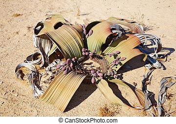 welwitschia, mirabilis, namib 砂漠