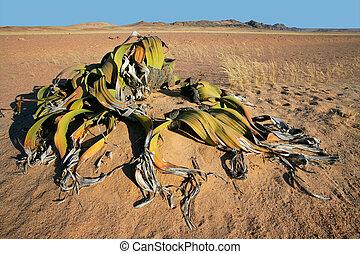 Welwitschia, Namib desert - Ancient welwitschia plant (...