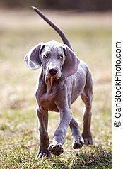 wemaraner puppy run in field