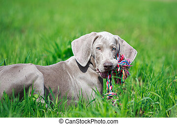 wemaraner puppy with toy