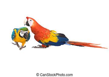 wenezuela, amazonka, papugi