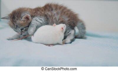 wenig, graues kätzchen, katz, und, weiße ratte, schnüffeln,...