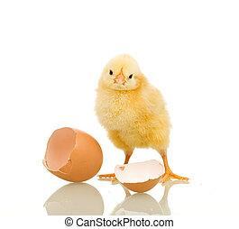 wenig, huhn, mit, eierschale