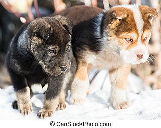 wenig, junger hund, schnee