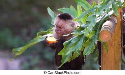 wenig, reizend, capucin, affe, essende, orange