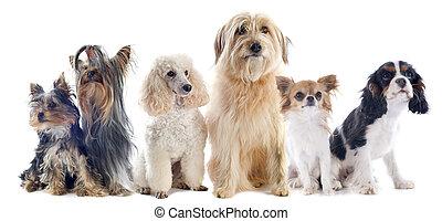 wenig, sechs, hunden