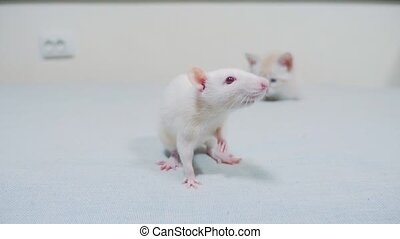 wenig, weißes, kã¤tzchen, spielende , jagden, a, ratte,...
